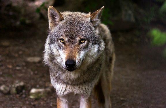 Il lupo e la regina